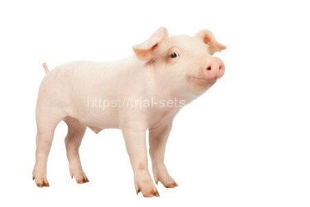 SPF豚を使ったプラセンタ