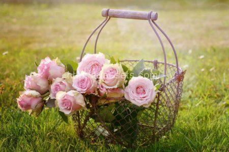 レディラック品種という淡いピンク色をしたバラ